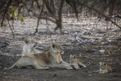 Stock Photo of Asiatic lion Panthera leo persica female lioness with her cubs Gir