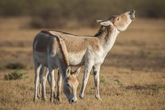 Stock Photo of Onager or Asiatic wild ass Equus hemionus endangered species jack flehming