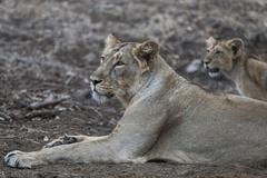 Stock Photo of Asiatic lion Panthera leo persica female lioness with cub Gir Interpretation