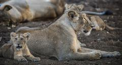 Stock Photo of Asiatic lion Panthera leo persica female lioness with young Gir Interpretation