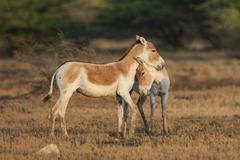 Onagers or Asiatic wild asses Equus hemionus endangered species showing - stock photo