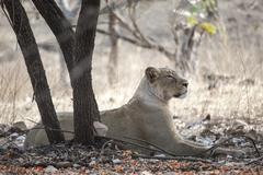 Stock Photo of Asiatic lion Panthera leo persica resting under a tree female Gir