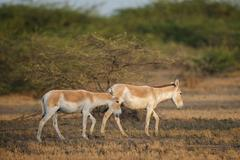 Stock Photo of Onagers or Asiatic wild asses Equus hemionus endangered species Little Rann of