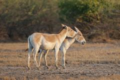 Onagers or Asiatic wild aasses Equus hemionus endangered species grooming each - stock photo