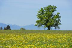 Spring meadows with solitary tree Sonnenhofen Konigsdorf Upper Bavaria Bavaria - stock photo
