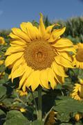 Stock Photo of Sunflower Helianthus annuus Departement AlpesdeHauteProvence France Europe