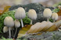Glistenin Inkcap or Mica Cap Coprinellus micaceus Emsland Lower Saxony - stock photo