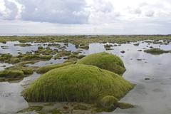 Stock Photo of Rocks overgrown with algae in the intertidal mudflats Department Cotes dArmor