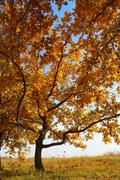 Oak with yellow leaves Stock Photos