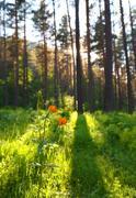 Globeflower in siberia forest Stock Photos
