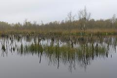 Wetland rehydration with dead Birch trees Betula pubescens Bargerveen Drenthe - stock photo