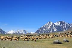 Flock of sheep on mountain pasture Stock Photos