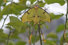 Luna Moth Actias luna captive Emsland Lower Saxony Germany Europe - stock photo