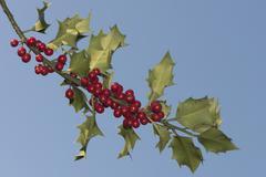 Holly Ilex aquifolium with berries Lower Saxony Germany Europe Stock Photos