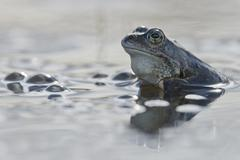 Stock Photo of Moor frog Rana arvalis Emsland Lower Saxony Germany Europe