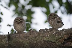 Young little owls Athene noctua in front of their nesting hole Emsland Lower - stock photo