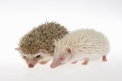Two Fourtoed Hedgehogs or African Pygmy Hedgehogs Atelerix albiventris albino - stock photo