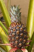 Pineapple Ananas comosus Oahu Hawaii United States North America - stock photo