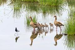 Stock Photo of Egyptian Geese Alopochen aegyptiacus Tarangire Tanzania Africa