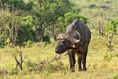 African Buffalo or Cape Buffalo Syncerus caffer Arusha Tanzania Africa - stock photo