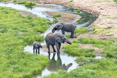 African Elephants Loxodonta africana herd at river Tarangire Tanzania Africa - stock photo