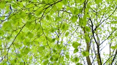 Fresh, bright birch tree leaves blowing in the wind, footage Stock Footage