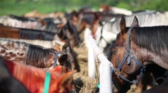 Two rows of horses feeding at group feeder on farm. Stock Footage