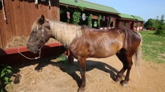 Stock Video Footage of Attached horse of chestnut color at a feeding trough near building