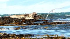 Harbor seal lie on rock in sea and look into lens of camera (Phoca vitulina) Stock Footage