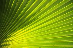 Palm frond Arecaceae Cienfuegos Province Cuba North America - stock photo