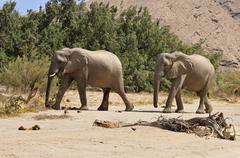 Two of the rare Namibian Desert Elephant Loxodonta africana Hoanib River Namib - stock photo