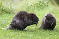 Eurasian beaver Castor fiber one feeding on a willow branch Tyrol Austria Europe - stock photo