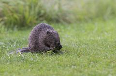 Stock Photo of Eurasian Beaver Castor fiber feeding on a willow branch Tyrol Austria Europe