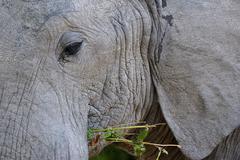 African Elephant Loxodonta africana closeup portrait feeding South Luangwa Stock Photos