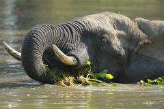 African Elephant Loxodonta africana in the water with water plants in the mouth Stock Photos