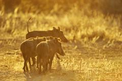 Warthog Phacochoerus africanus warthog family in the backlight Lower Zambezi - stock photo