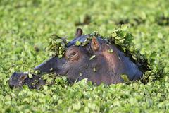 Hippopotamus Hippopotamus amphibicus in stagnant waters with aquatic plants - stock photo