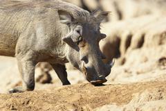 Warthog Phacochoerus africanus boar ingesting minerals Lower Zambezi National - stock photo