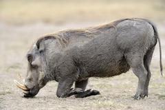 Stock Photo of Warthog Phacochoerus africanus old boar feeding on short grass Sweetwater Game