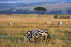Stock Photo of Plains Zebras Equus guagga in the morning light behind an umbrella acacia tree