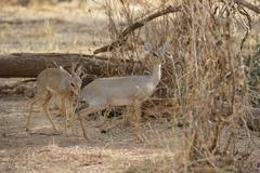 Kirks Dik Madoqua kirkii male checking the scent of the female checking her - stock photo