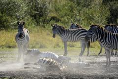 Plains Zebras Equus guagga two animals rolling around in the sand Maasai Mara - stock photo