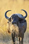 Stock Photo of African Buffalo or Cape Buffalo Syncerus caffer feeding an oxpecker on its side
