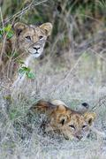 Lions Panthera leo cubs observing from their hiding place South Luangwa - stock photo