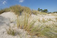 Dune and European Beachgrass or European Marram Grass Ammophila arenaria Stock Photos