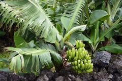 Stock Photo of Banana plant Musa Azores Portugal Europe