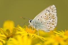 Adonis Blue Polyommatus bellargus syn Lysandra bellargus feeding on nectar Stock Photos