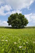 Solitary Pedunculate Oak Quercus robur in summer Lower Saxony Germany Europe - stock photo