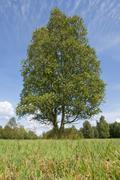 Solitary downy birch Betula pubescens Lower Saxony Germany Europe Stock Photos