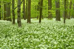 Stock Photo of European Beech forest Fagus sylvatica with blooming Wild Garlic Allium ursinum